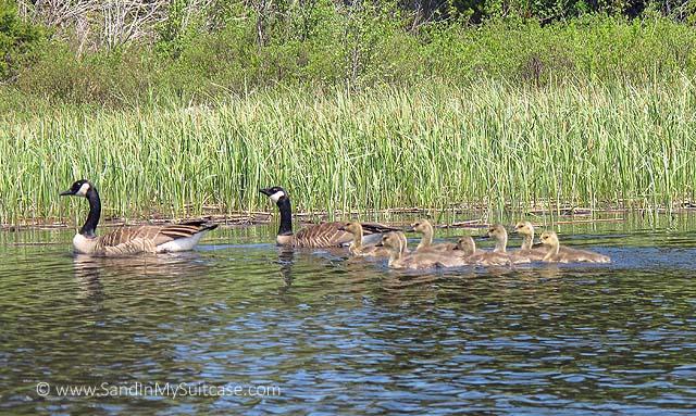 Goslings follow mama and papa...