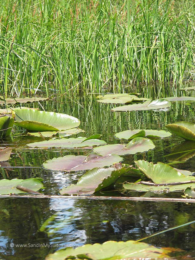 Water lilies on the river