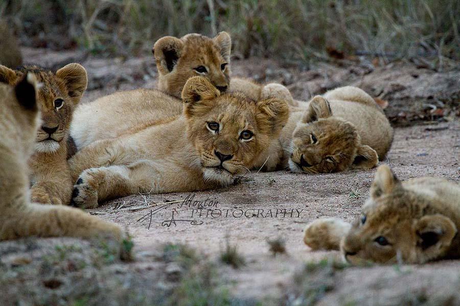 Aren't these lion cubs adorable? photo Pierre Mouton