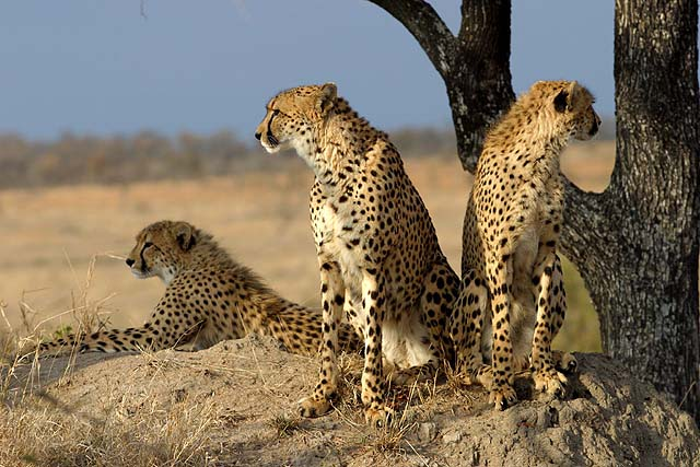 A group of cheetahs in Sabi Sand Game Reserve - credit James Temple