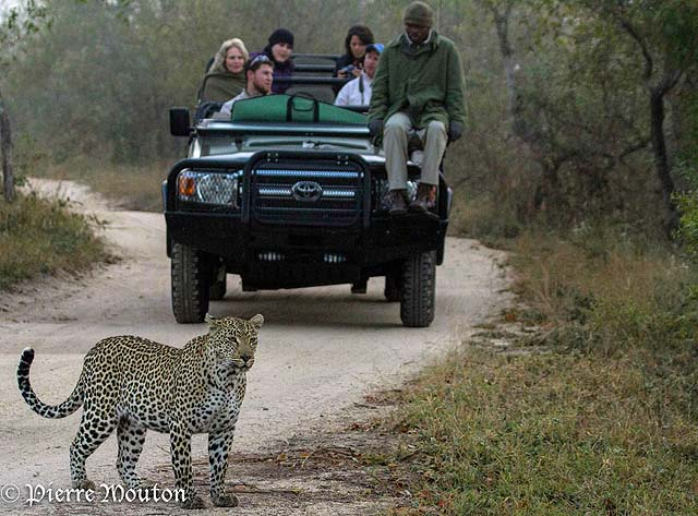 Heading out on a game drive from Simbambili Game Lodge - credit Pierre Mouton