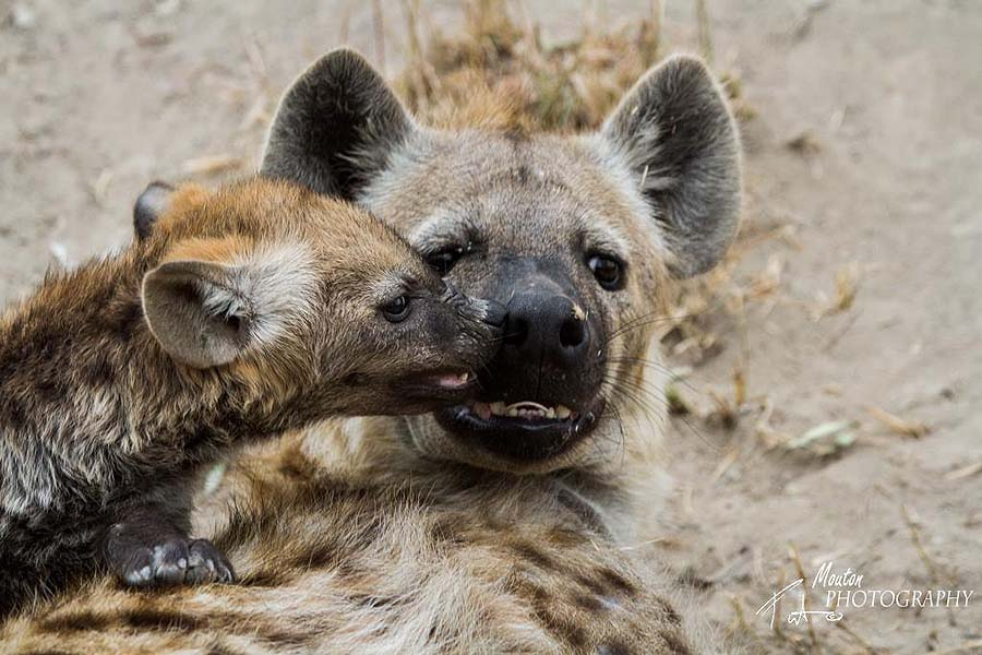 Hyena pup - photo Pierre Mouton