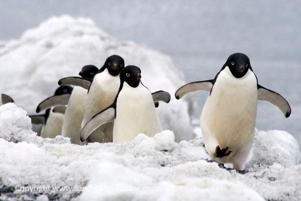 Adelie Penguins Marching In A Line At Brown Bluff By J