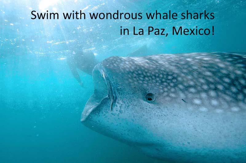 Swim with whale sharks in La Paz