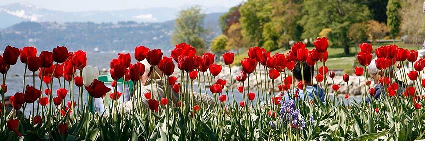 travel articles - Sand In My Suitcase - tulips in North America