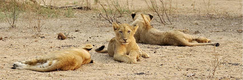 published travel articles - lions
