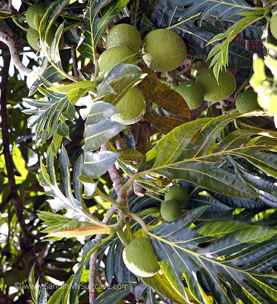 """Breadfruit is one of the """"canoe plants"""" early Polynesians brought to Kauai"""