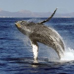 What a Fluke! Whale watching in Cabo San Lucas