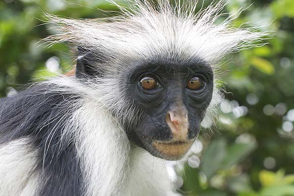 Red colobus monkey in Jozani Forest - courtesy Zanzibar Palace Hotel