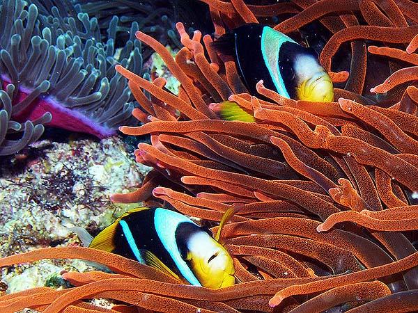 Pair of clownfish - by www.BigFiveExplorer.com/Zanzibar