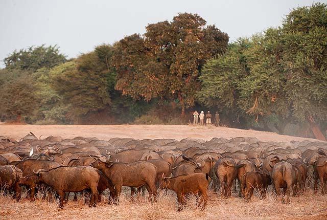 Herd of Cape buffalo - credit Old Mondoro Camp