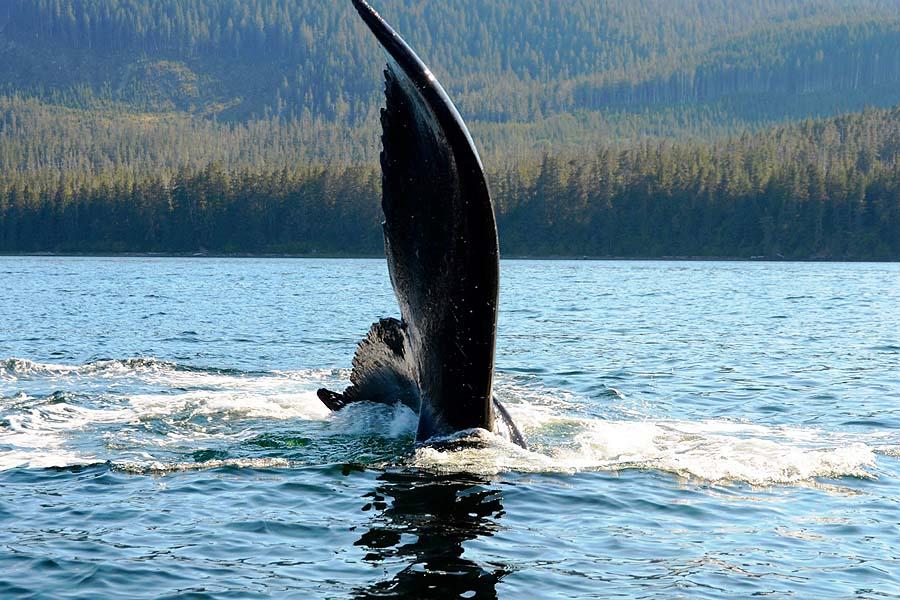Un-Cruise Adventures Alaska - whale tail