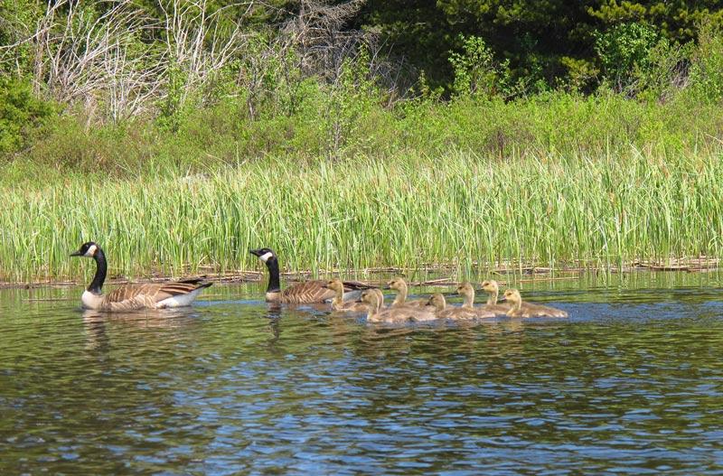 Alta Lake geese