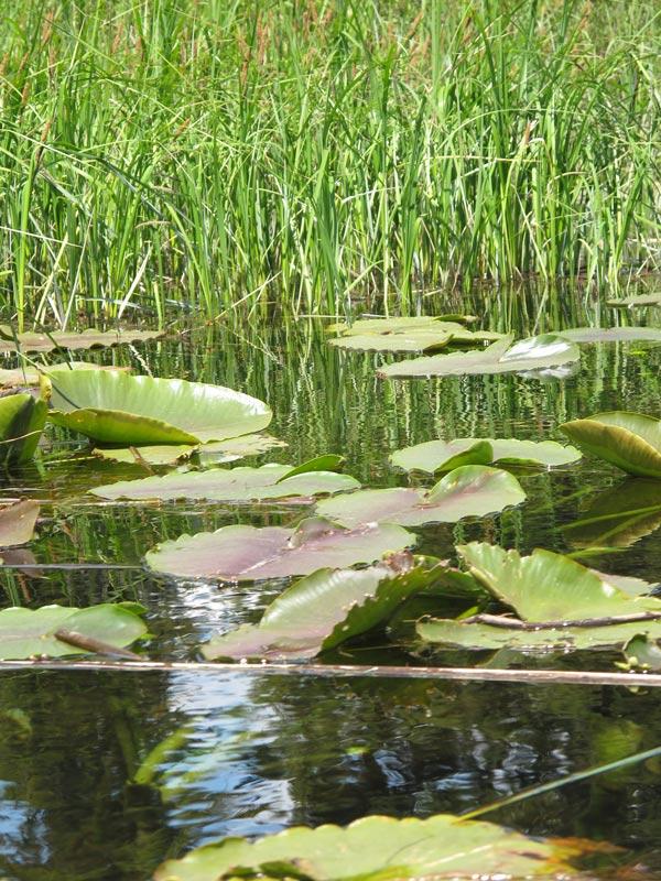 Alta Lake water lilies
