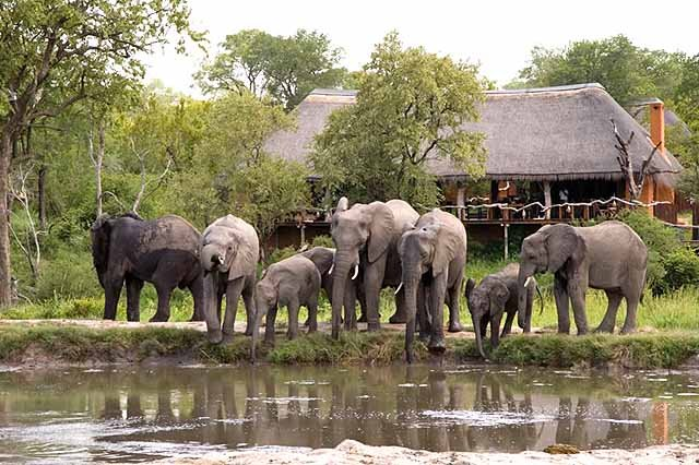 Elephants at the watering hole in front of the dining room - credit Simbambili Game Lodge
