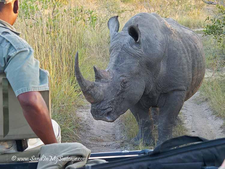 lions on safari - rhino