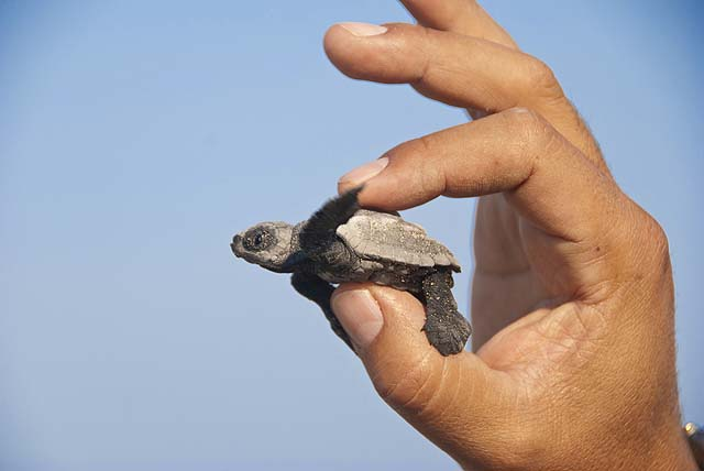 We helped to release baby sea turtles back to the sea - credit Hotelito Desconocido