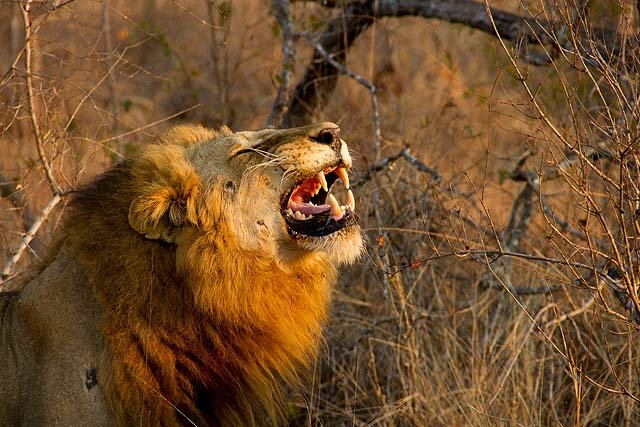 You'll likely see lions, the king of the savannah, in Sabi Sand Game Reserve - credit Pierre Mouton