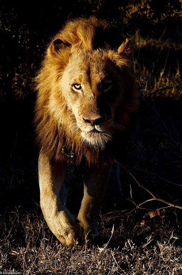 lions on safari - lion at night