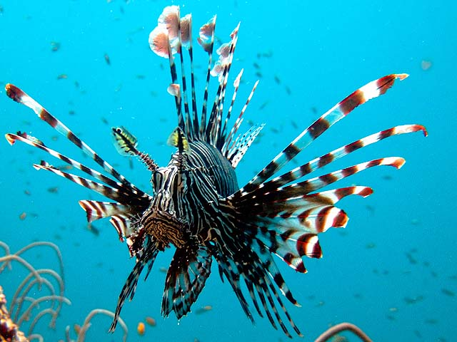 Lionfish are seen when scuba diving off Koh Lanta and the Phi Phi Islands - credit Ilse Reijs and Jan-Noud Hutten