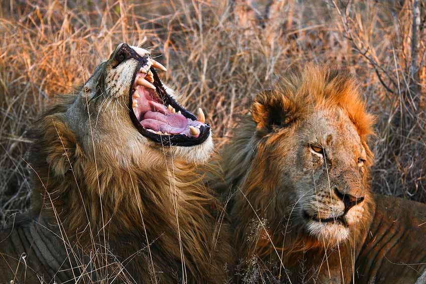 lions on safari - roaring lion