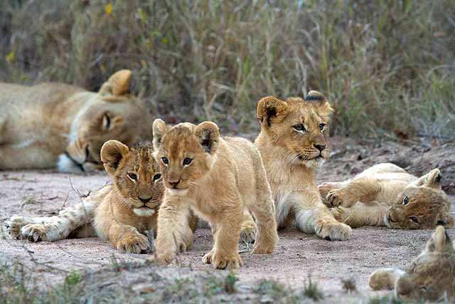 Lion cubs at Simbambili Game Lodge