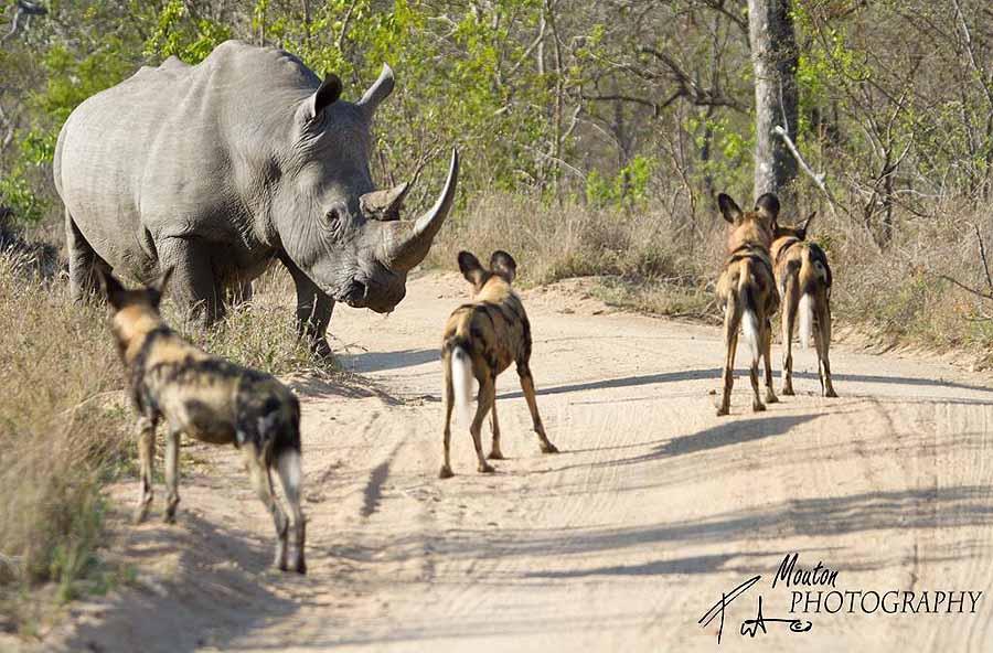 Rhino and wild dog