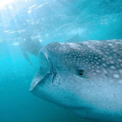Swim with whale sharks La Paz