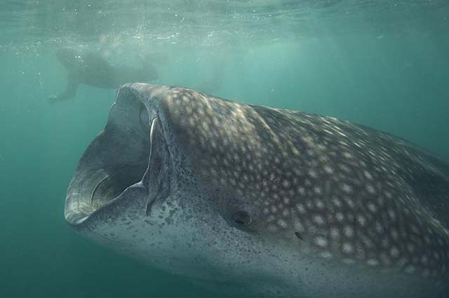 Swim With Whale Sharks In La Paz Mexico Sand In My Suitcase
