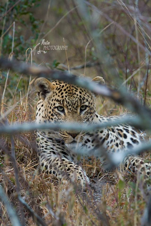 Leopard at Simbambili Game Lodge, Sabi Sand Game Reserve - photo Pierre Mouton