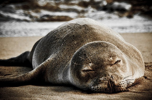 Sleeping monk seal - photo Jared Wong