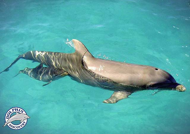 Swim with dolphins - Dolphin Discovery, baby and mother