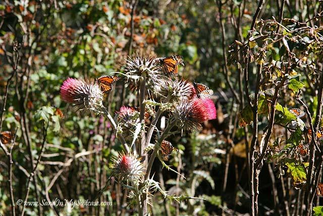 Morelia - Monarch butterflies