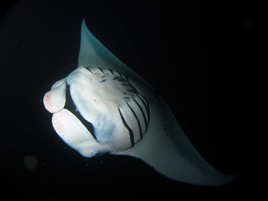 Snorkeling with manta rays at night is a highlight of our UnCruise Hawaii adventure!