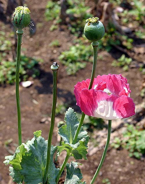 Opium poppies growing in northern Thailand