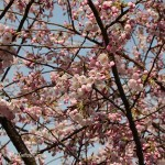 Snapshot Story: Vancouver cherry blossoms blooming!