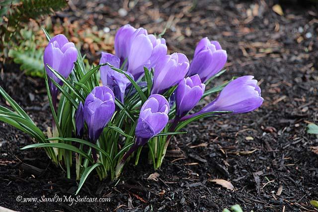 Vancouver spring flowers - Purple crocuses