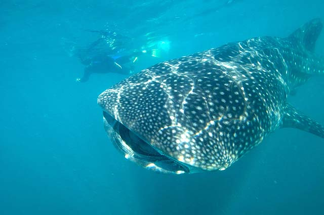 Why visit Los Cabos - swim with whale sharks
