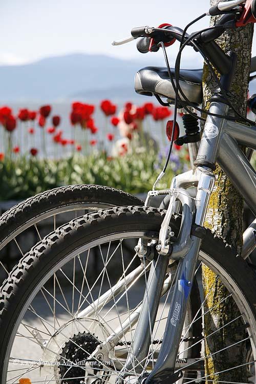 Tulips and bikes