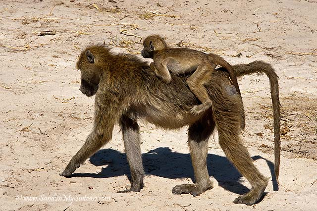 A baby monkey hitches a ride on mom's back in Chobe National Park