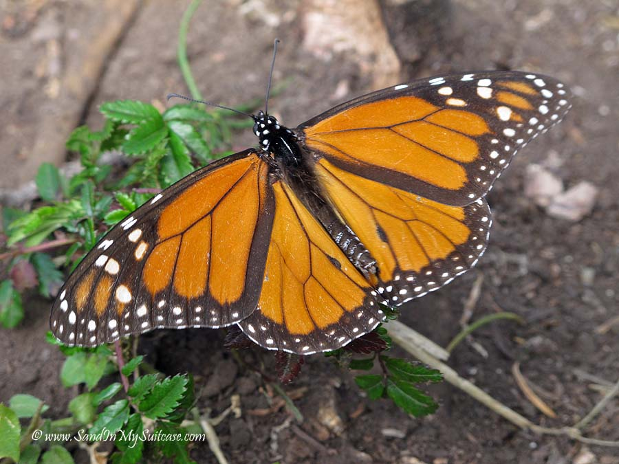 migration of monarch butterflies