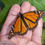 Witness the remarkable migration of Monarch butterflies