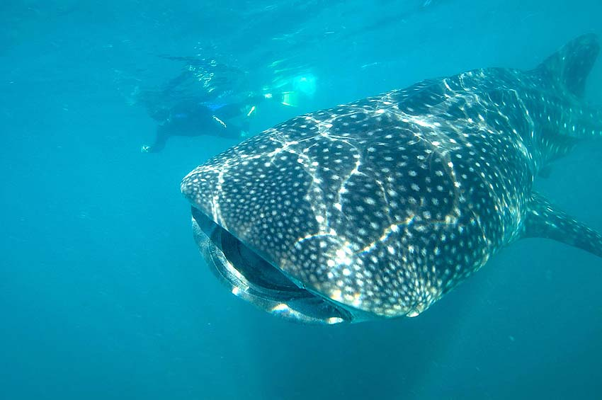 swim with whale sharks in La Paz - photo Cabo Expeditions