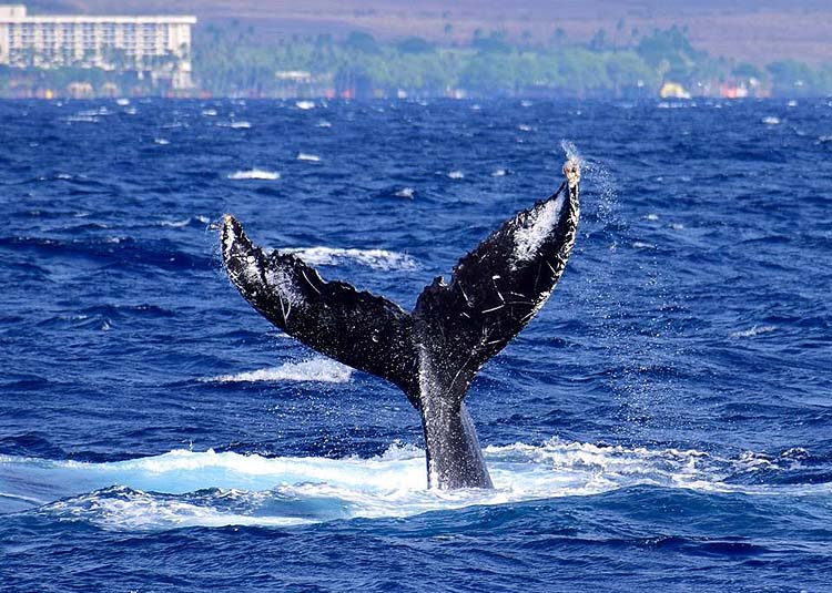 Whale watching is one of the fun water activities in Hawaii
