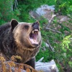 Will you see bears on your Joffre Lakes hike?