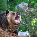 Will you bump into bears on your Joffre Lakes hike?