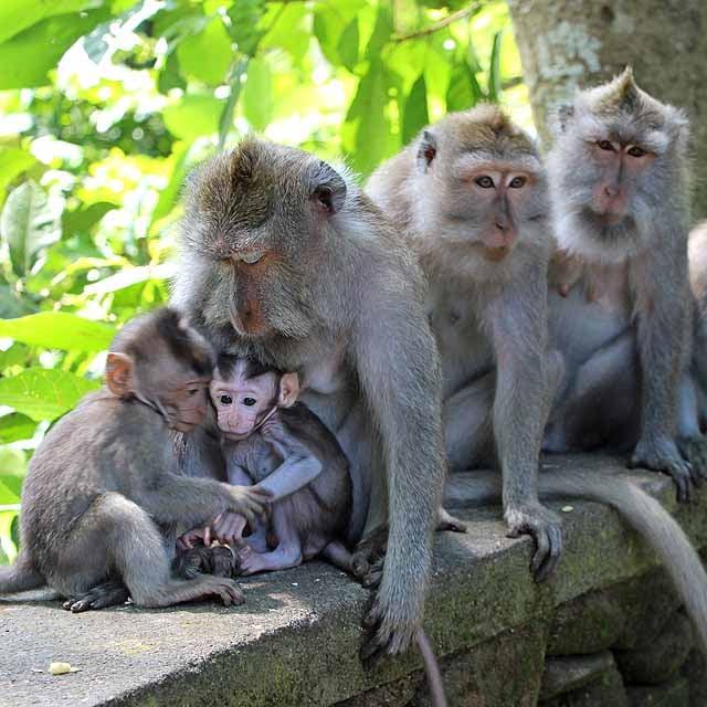 Monkey family with baby monkeys in Ubud