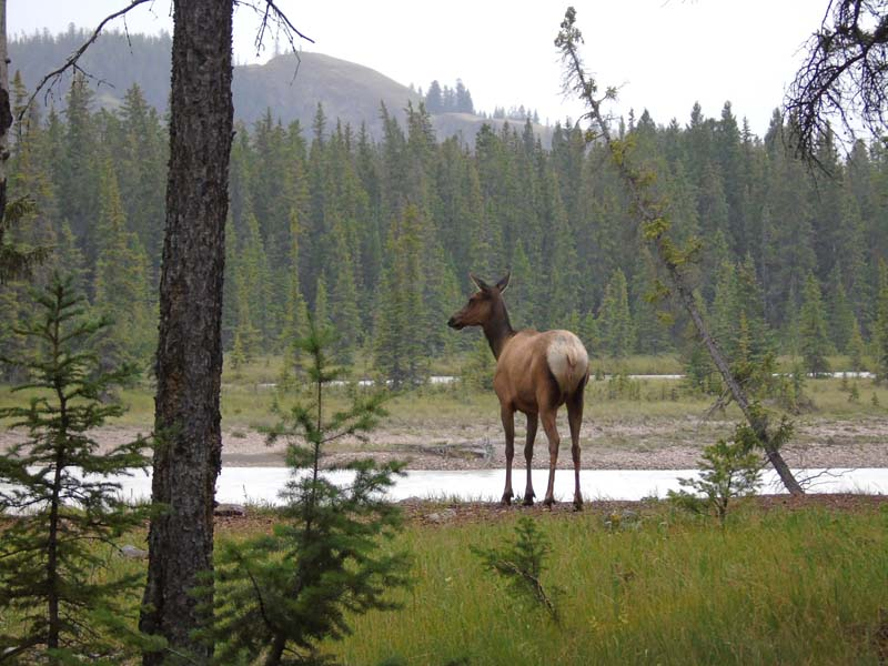 Jasper National Park holiday - elk