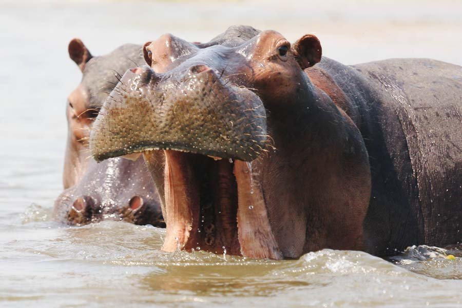 travel philanthropy - hippos at Chiawa
