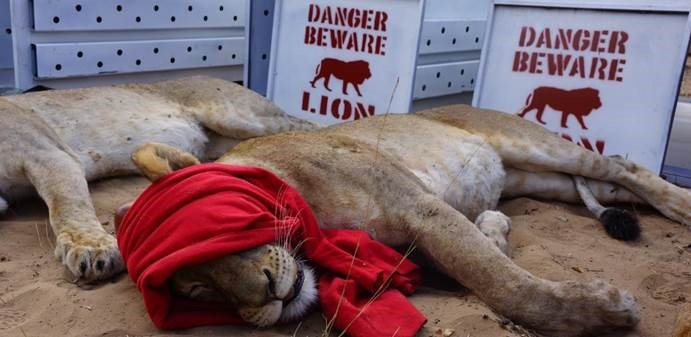 travel philanthropy - lion, photo andBeyond